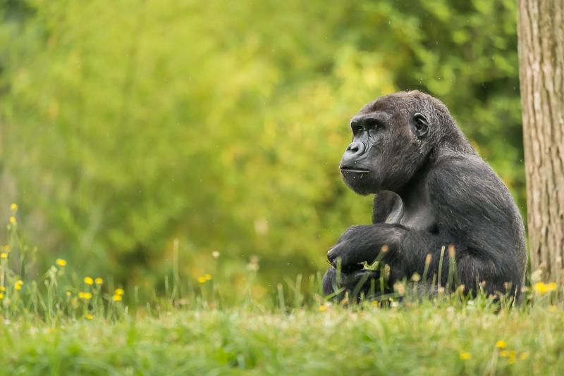annuaire photographes suisse romande, Gorille pas dans la brume. - http://philippe.belazp.com/ - Le Meuh de Courtepin